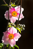 Anemone japonica or Japanese anemone flowers Royalty Free Stock Image