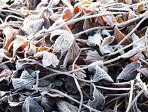 The anemone leaves covered with a frost Royalty Free Stock Photo