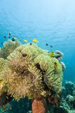 Anemone magnífico com clownfishes. fotografia de stock royalty free