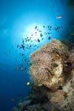 Anemone magnífico com a escola de peixes pequenos. imagens de stock