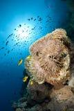 Anemone magnífico com peixes pequenos. foto de stock royalty free