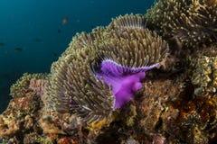 Anemone magnifico fotografia stock