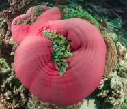 Anemone Malediven Stockfoto