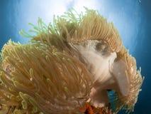 Anemone Malediven Stockbild