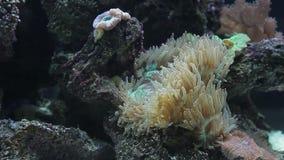 Anemone in marine aquarium stock video