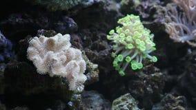 Anemone in marine aquarium stock footage