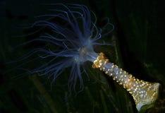 Anemone mediterrâneo da noite Fotos de Stock