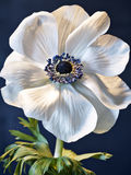 Anemone on metal Stock Image