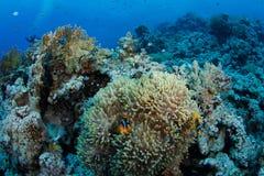 Anemone mit clownfish Lizenzfreie Stockfotos