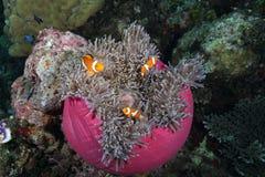 Anemone mit clownfishes Lizenzfreies Stockfoto