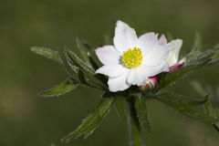 Anemone narcissiflora flower. In the German alps royalty free stock image