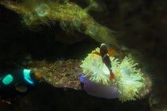 Anemone nell'acquario dell'acquario di Phuket thailand fotografia stock