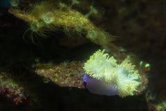 Anemone nell'acquario dell'acquario di Phuket thailand fotografie stock libere da diritti