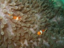 Anemone and Nemoish. Andaman sea. Similan islands royalty free stock photos