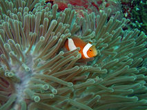 Anemone and Nemoish. Andaman sea. Similan islands royalty free stock image