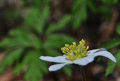 Anemone nemorosa Stock Photo
