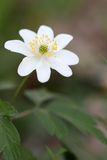 Anemone nemorosa Royalty Free Stock Photos