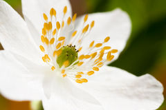 Anemone nemorosa Royalty Free Stock Image