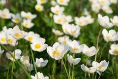 Anemone nemorosa. Blooming in spring Royalty Free Stock Photos