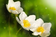 Anemone nemorosa. Blooming in spring Stock Images