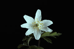 Anemone nemorosa Royalty Free Stock Images