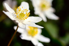Anemone nemorosa in closeup Stock Photos
