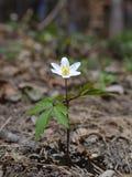 Anemone nemorosa Stock Photography
