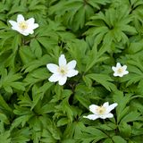 Spring flower. White Anemone nemorosa stock photos