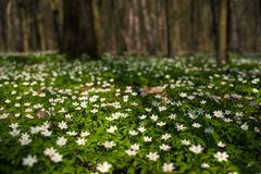 Anemone nemorosa flower in the forest in the sunny day. Royalty Free Stock Photography