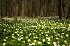 Anemone nemorosa flower in the forest in the sunny day. Royalty Free Stock Photo