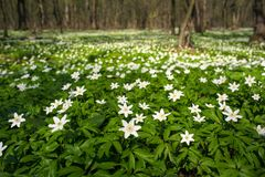 Anemone nemorosa flower in the forest in the sunny day. Stock Images
