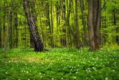 Anemone nemorosa flower in the forest in the sunny day. Wood anemone, windflower, thimbleweed. stock image