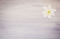 anemone nemorosa flower on a pastel tinted wood surface Royalty Free Stock Photography
