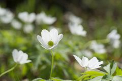 Anemone nemorosa flower with selsctive focus Royalty Free Stock Image
