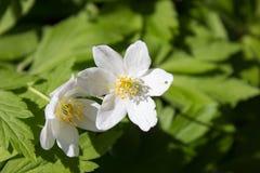 Anemone nemorosa flower Stock Photography