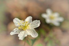 Anemone nemorosa Stock Images
