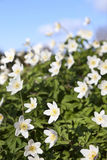 Anemone nemorosa flowers Stock Images