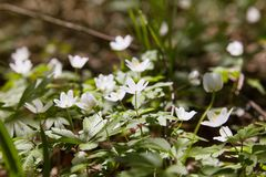 Anemone nemorosa flowers in the forest in a sunny day. royalty free stock photo