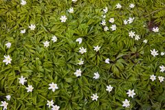 Wild anemone, windflowers, thimbleweed. Anemone nemorosa flowers in the forest royalty free stock images