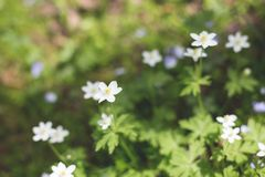 Anemone nemorosa flowers in the forest in a sunny day. Wild anemone, windflowers, thimbleweed royalty free stock photography