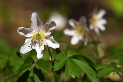 Anemone nemorosa in forest Royalty Free Stock Images