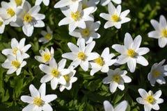 Anemone nemorosa in garden. A lot of spring white flowers - anemone nemorosa in garden royalty free stock photos