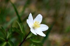 Anemone nemorosa macro. Wild white anemone nemorosa macro royalty free stock image