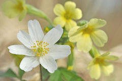 Anemone nemorosa and Primula Stock Image