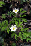 Anemone Nemorosa Royalty Free Stock Photo