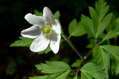 Anemone nemorosa. White blooming flower in natural environment. Anemone nemorosa, in English wood anemone, windflower, thimbleweed, and smell fox Stock Images