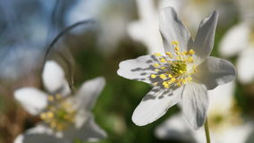 Anemone nemorosa. White flowers waving on wind in European spring forest stock video footage