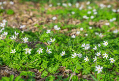 Anemone nemorosa white spring wood forest flower background Stock Photography