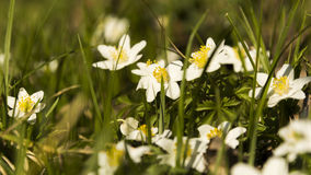 Anemone nemorosa. White wind flowers in green grass on garden. Spring white flowers with yellow centre Royalty Free Stock Image