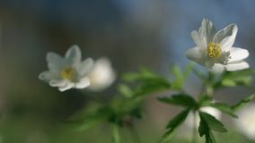 Anemone nemorosa in the wind. Anemone nemorosa swaying in the wind. Common names include wood anemone, windflower, thimbleweed, and smell fox stock footage